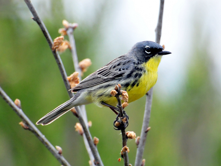 Endangered Species in Michigan – Kirtland's Warbler