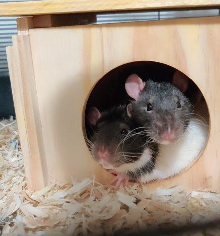 Two of my rats! Mushroom (left), Pebble (right)